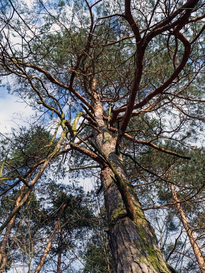 Scots pijnboom, pnussylvestris, in een natuurlijk milieu royalty-vrije stock foto