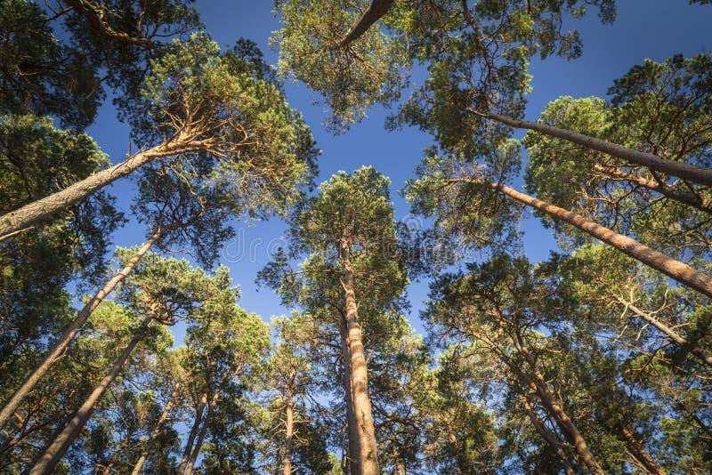 Scots pijnboomluifel bij Abernethy-bos in Schotland stock afbeeldingen