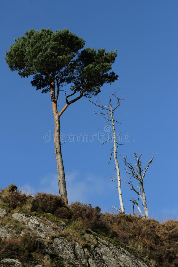 Scots pine. Scots pine tree with needles next to dead trees on a mound of rock and heather against a blue sky royalty free stock images