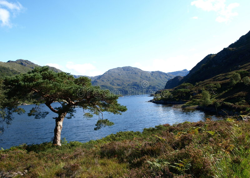 Scots Pine. A Scots pine by a higland loch in Scotland royalty free stock photos