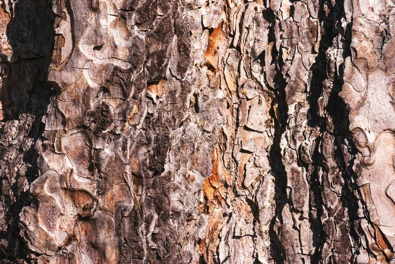 Scots Pine Bark. A close up image of the texture of a Scots Pine Tree, Pinus sylvestris, Bark. 12 September 2009 stock photos