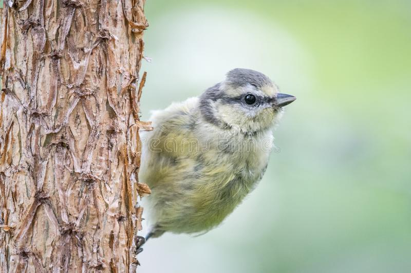 Scots pine blue tit. Young blue tit Cyanistes caeruleus perching on vertical Scots pine tree trunk, looking away. Wales, UK, July royalty free stock image