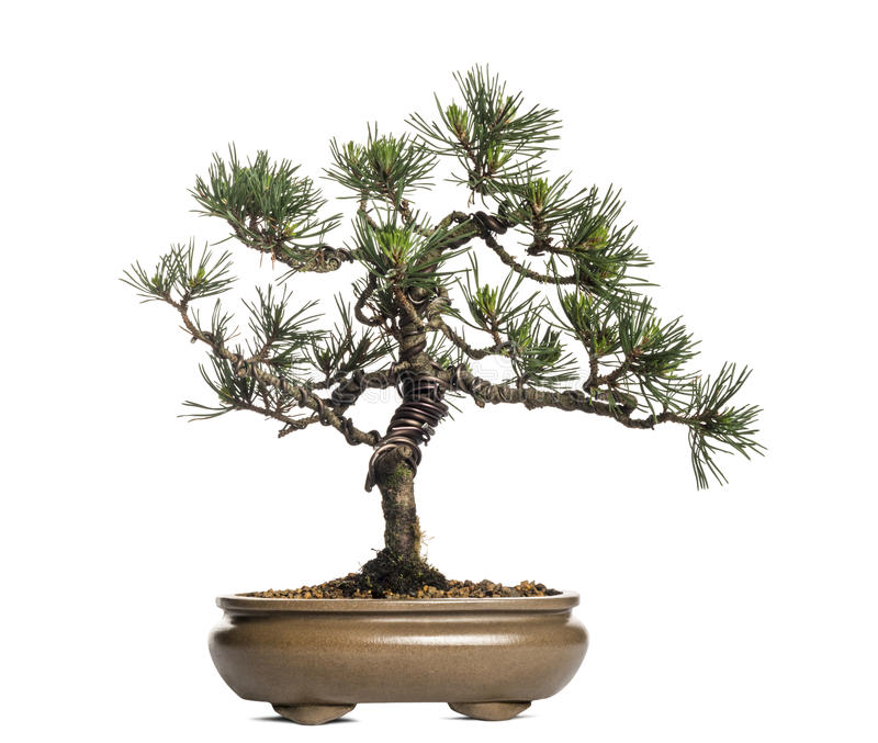 Scots pine bonsai tree, Pinus sylvestris, isolated. On white royalty free stock images