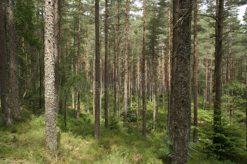 Scots pine forest. A view through a forest of Scots pine trees on a sunny day stock photography