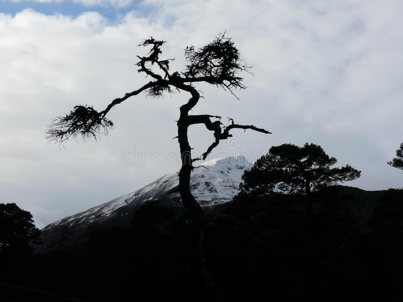 Scots pine at Glen Affric. A silhouette of a scots pine tree in the part of the ancient Caledonian forest in Glen Affric in the Scottish highlands. A snow royalty free stock image