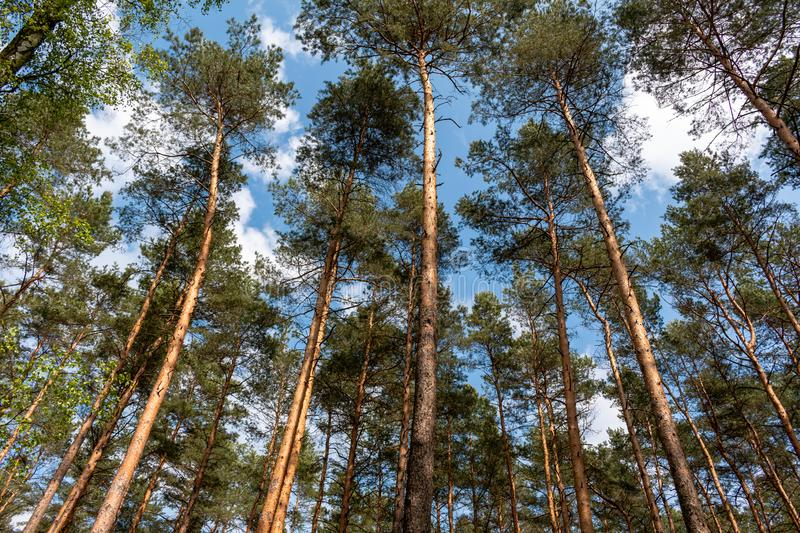Scots pine or Scotch pine, Pinus sylvestris forest. Scots pine, Pinus sylvestris, sometimes called Scotch Pine, is a native tree to parts of Europe and Asia stock images