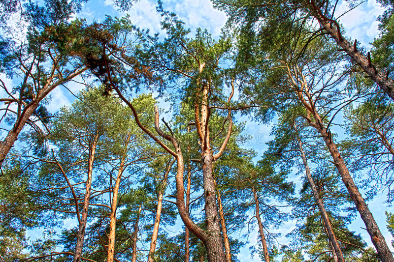 Scots pine tree canopy with blue sky. Abstract photography stock photo