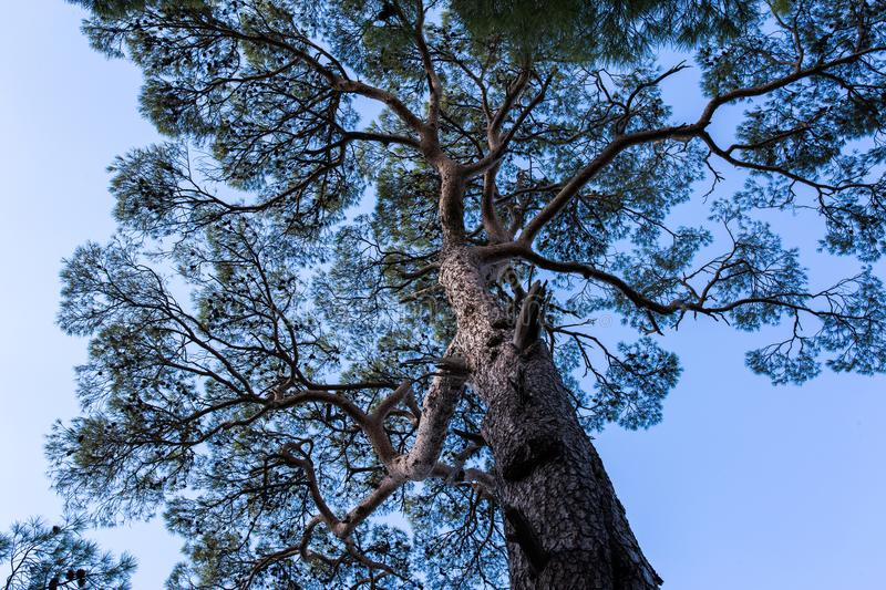 Scots pine tree. Closeup of Scots pine tree, (Pinus Sylvestrus), evergreen conifer native to northern Europe, pale blue sky background stock photos