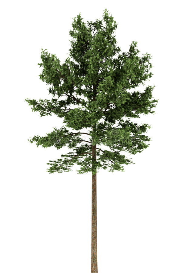 Scots pine tree isolated on white royalty free illustration