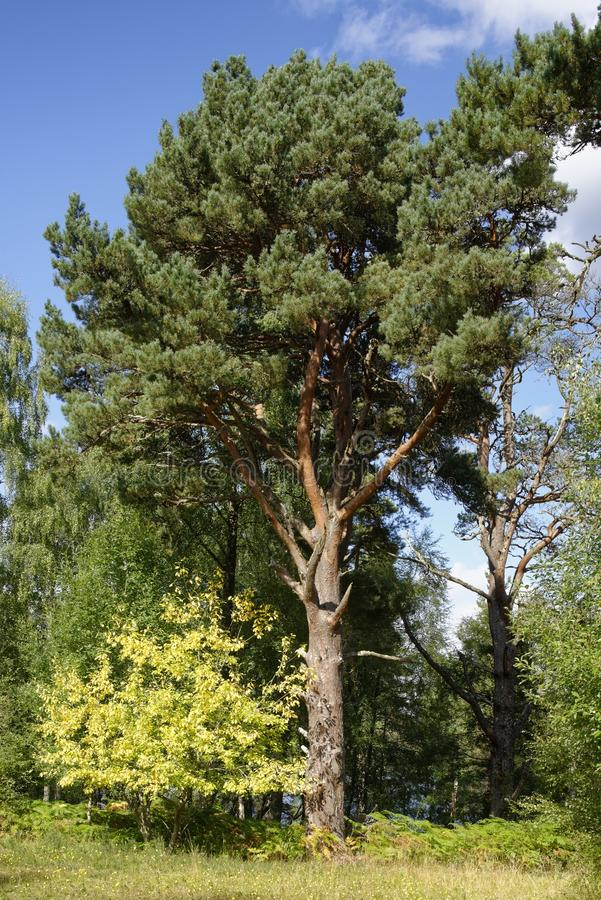 Scots Pine Tree. Pinus sylvestris Native Scottish tree by Loch Rannoch stock photos