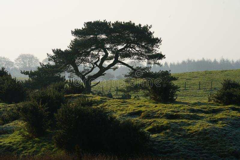 Scots Pine Pinus Sylvestris. A Scots Pine tree, in Scotland Pinus Sylvestris of the family Panacea in early morning outlined on a background of fields and royalty free stock photos
