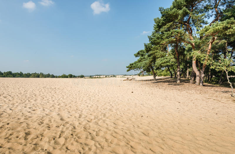Download Scots Pine Trees Growing On A Sandy Dune Stock Photo - Image: 34466020