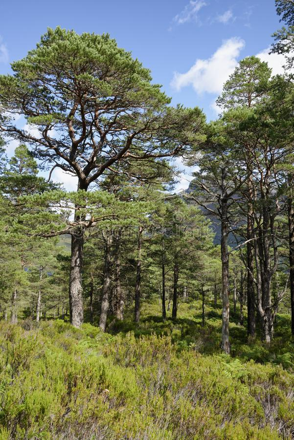 Scots Pine Trees. Pinus sylvestris .Caledonian forest by Loch Maree, Scotland stock photo