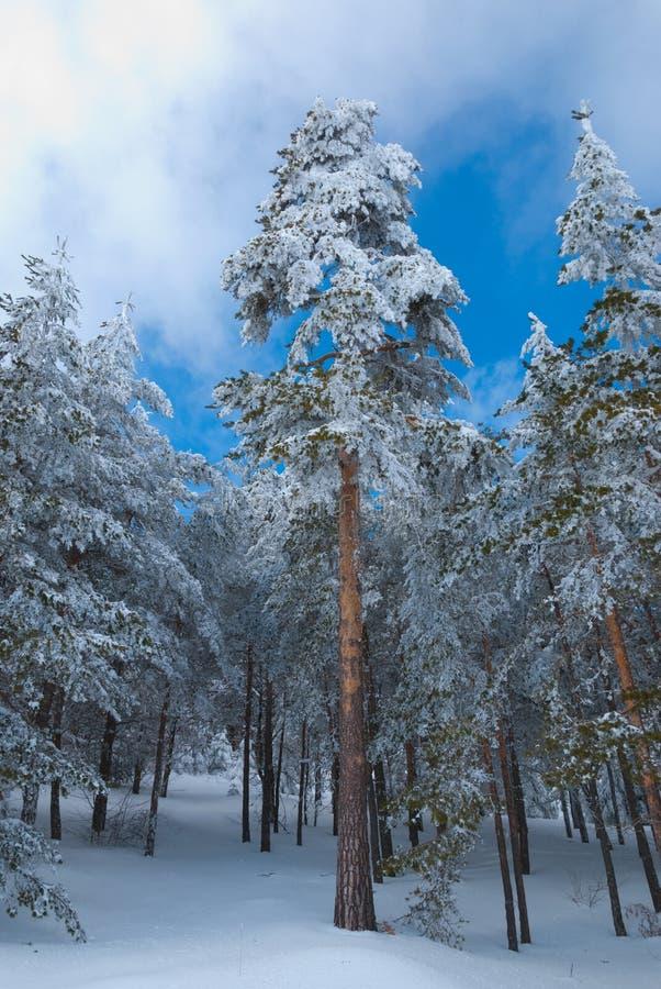 Scots pinjeskog i vinter royaltyfri fotografi