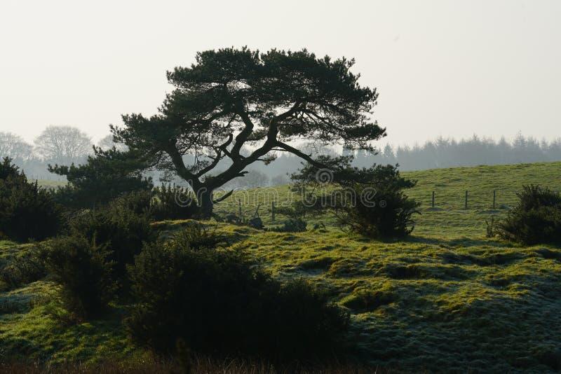 Scots sörja pinusen Sylvestris royaltyfria foton