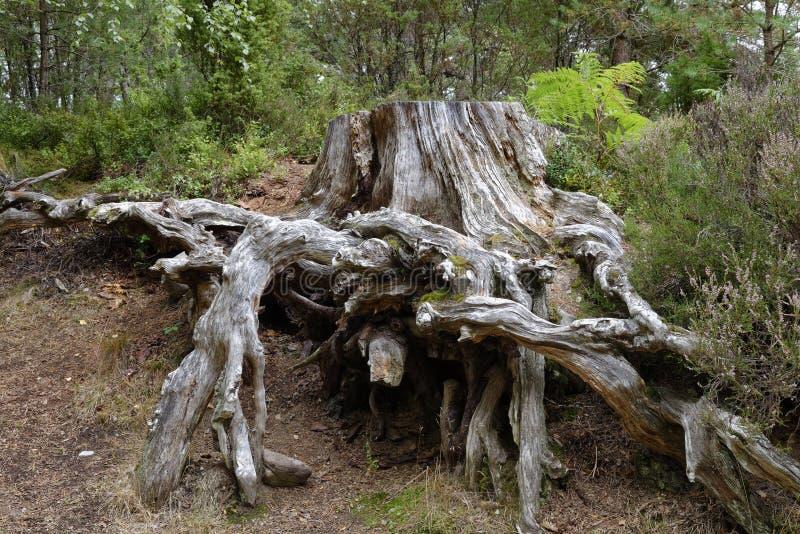 Scots sörja trädstubben arkivfoto
