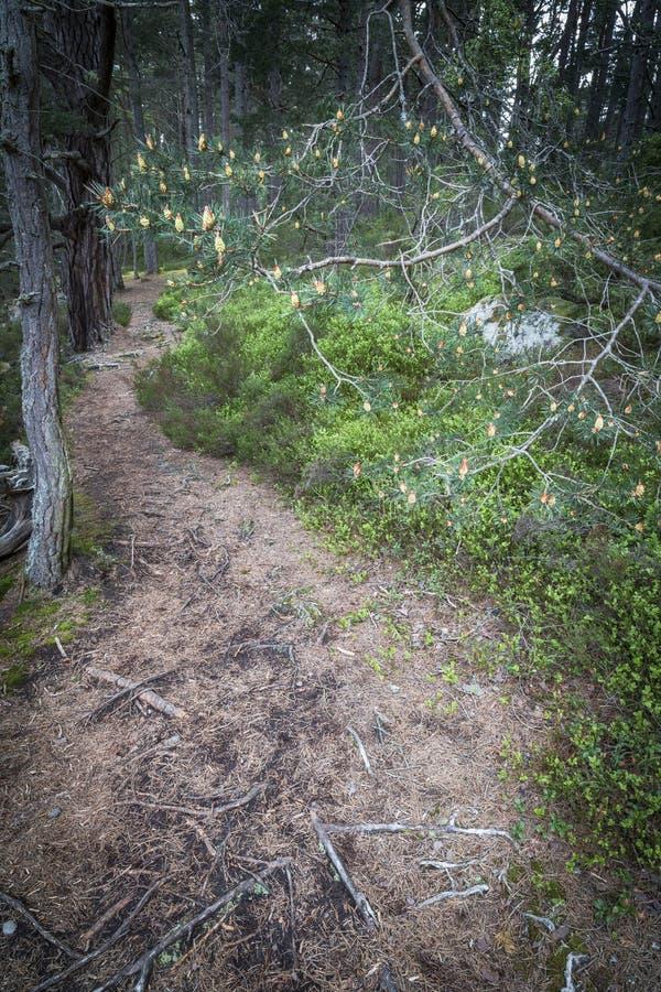 Scots sosny ślad przy Abernethy Kaledońskim lasem w średniogórzach Szkocja i rożki zdjęcie stock