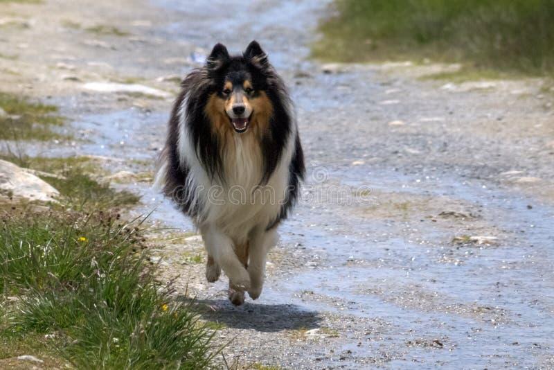 Scottisch lindo ou collie escocêsa, áspera andando em um trajeto fotografia de stock royalty free