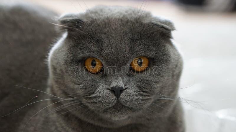 scottish створки кота шарика стоковая фотография rf