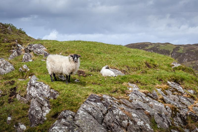 Scottish Blackface ewe and lamb on a hillside near Loch Morar. In Scotland stock images