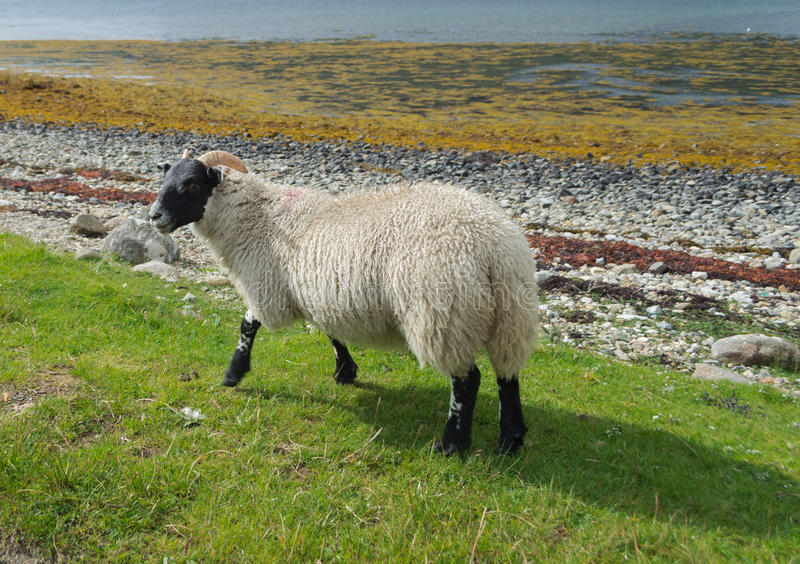 Scottish blackface sheep royalty free stock image