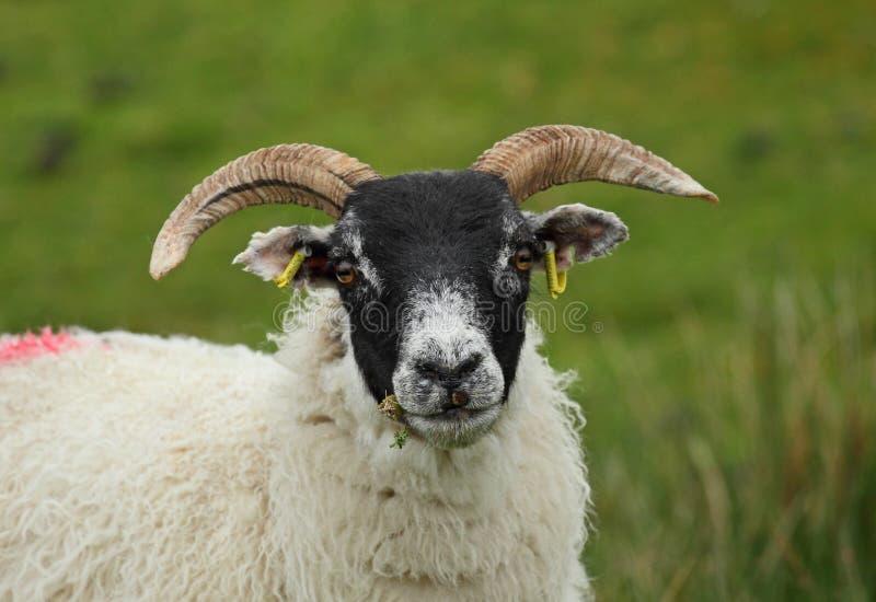 Scottish Blackface Sheep stock photos