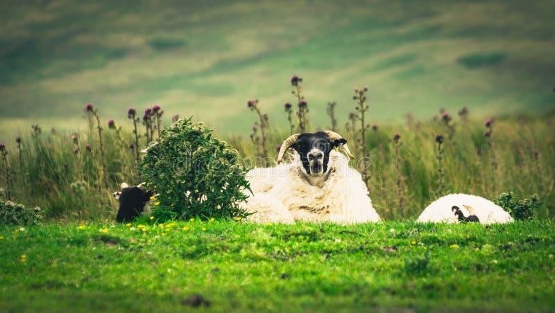 Scottish Blackface sheep royalty free stock images