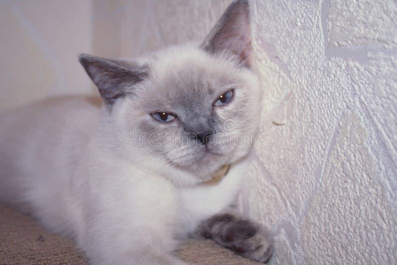Scottish blue-eyed kitty royalty free stock photo