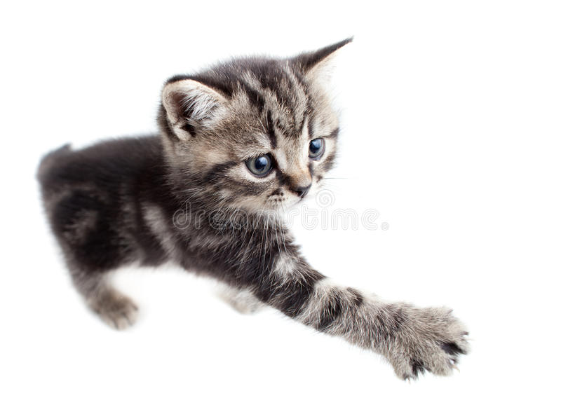 Scottish or british gray kitten gives paw