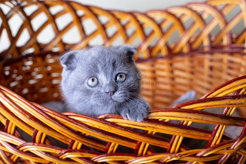 Scottish British lop-eared kitten. Portrait of a baby, cute scottish fold. Sits in a large basket alone. Color gray. Close-up, selective focus stock photo