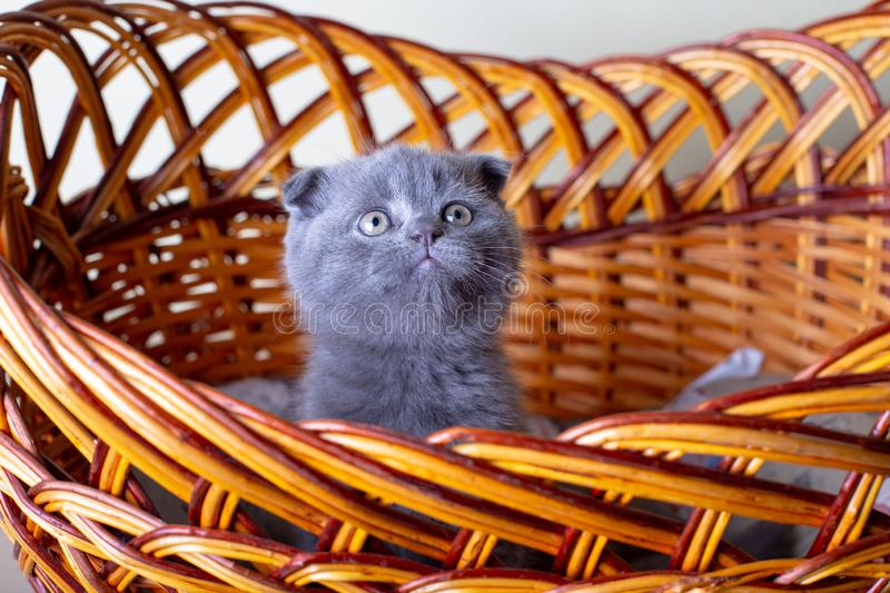 Scottish British lop-eared kitten. Portrait of a baby, cute scottish fold. Sits in a large basket alone. Color gray. Close-up, selective focus stock photos