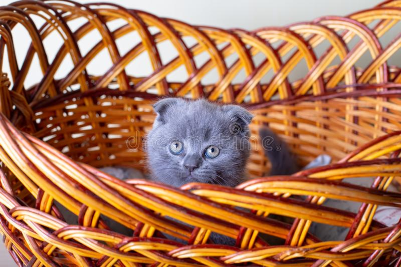 Scottish British lop-eared kitten. Portrait of a baby, cute scottish fold. Sits in a large basket alone. Color gray. Close-up, selective focus royalty free stock photography