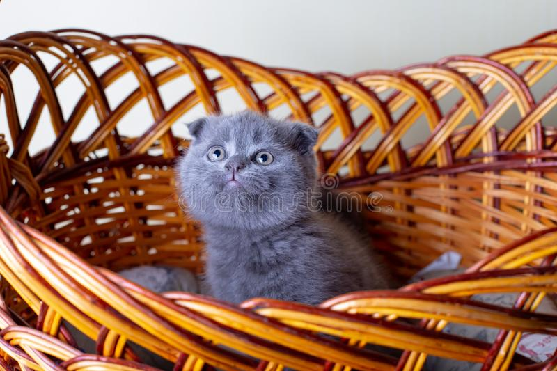 Scottish British lop-eared kitten. Portrait of a baby, cute scottish fold. Sits in a large basket alone. Color gray. Close-up, selective focus royalty free stock photos