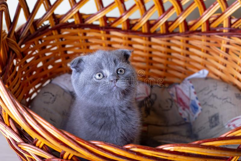 Scottish British lop-eared kitten. Portrait of a baby, cute scottish fold. Sits in a large basket alone. Color gray. Close-up, selective focus stock image