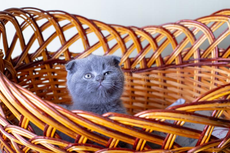 Scottish British lop-eared kitten. Portrait of a baby, cute scottish fold. Sits in a large basket alone. Color gray. Close-up, selective focus royalty free stock images