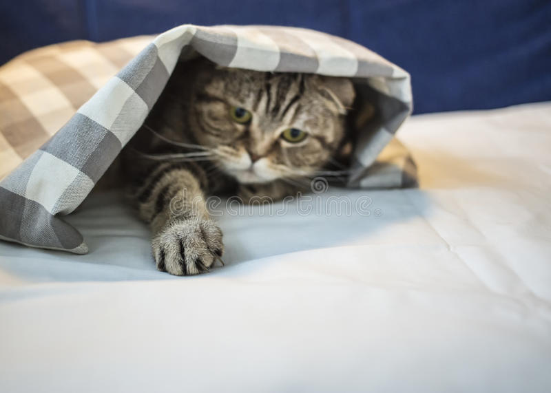 Scottish cat has hidden under the checkered blanket and pulled a royalty free stock images