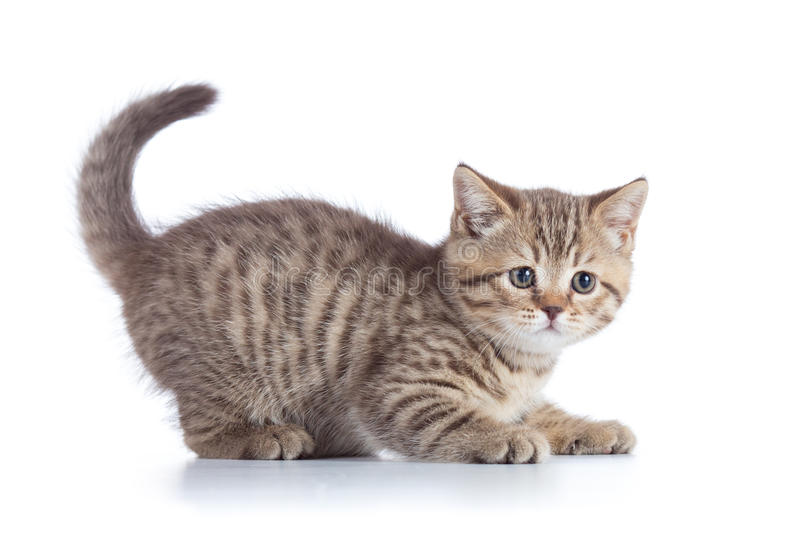 Scottish cat kitten profile side view stock images