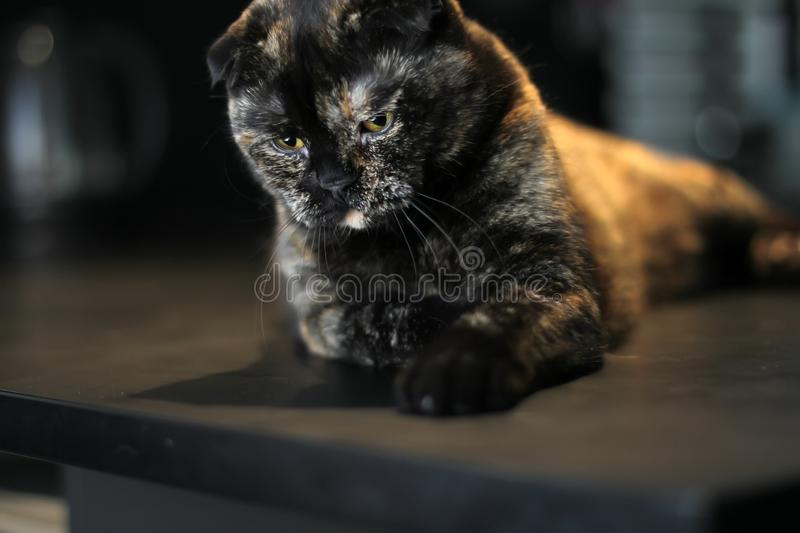 Scottish cat tortoise color sitting on the table. Photo in dark colors. Cat look down. stock image
