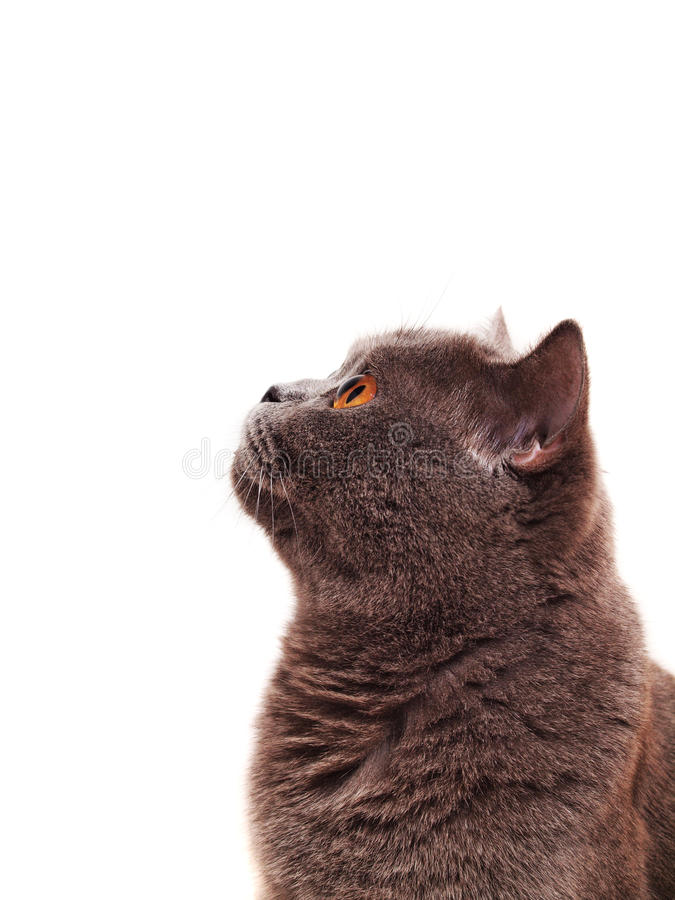 Scottish cat on a white background stock photo