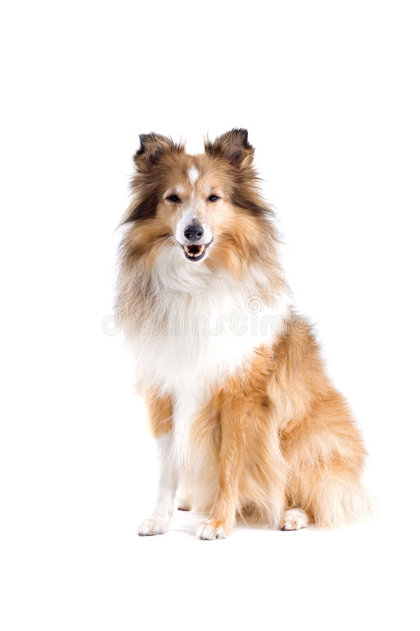 Scottish collie dog royalty free stock photos