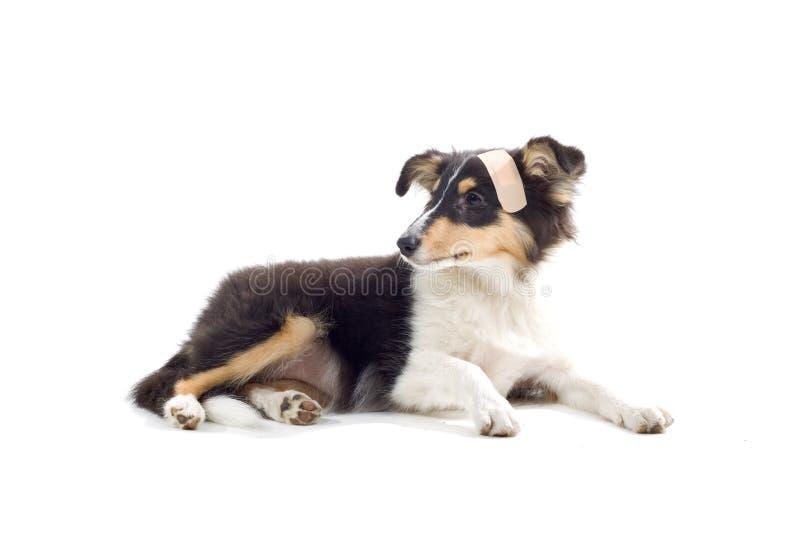 Scottish collie dog puppy royalty free stock image
