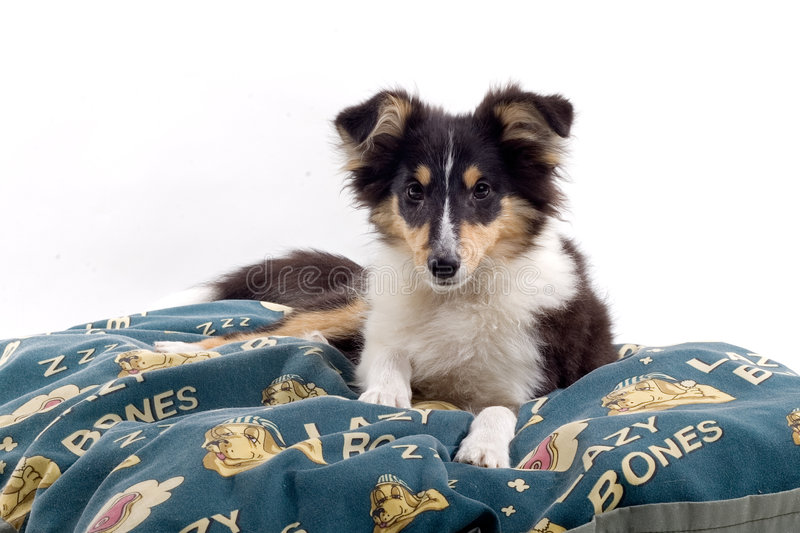 Download Scottish collie puppy dog stock image. Image of mammal - 4097555