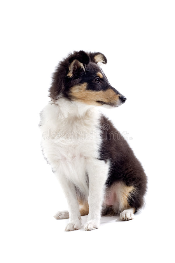Scottish collie puppy dog royalty free stock photography