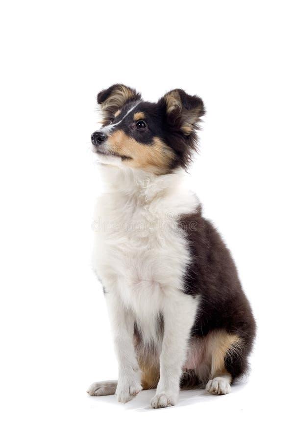 Scottish collie puppy dog stock photos