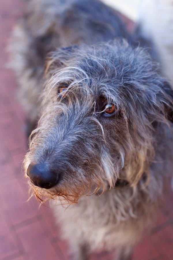 Scottish Deerhound Royalty Free Stock Image