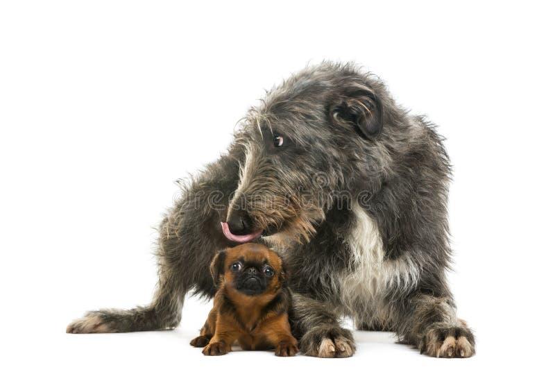 Scottish Deerhound que encontra-se e que lambe um pequeno Brabancon fotos de stock
