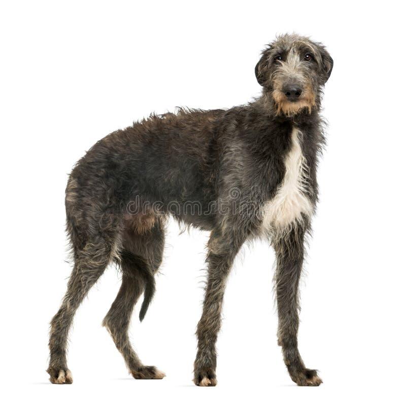Scottish Deerhound, welches die Kamera betrachtet stockfoto