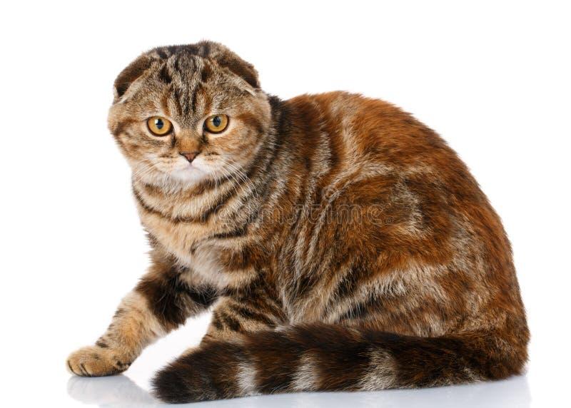 Scottish falten die gestreifte Katze, die auf weißem Hintergrund, Seitenansicht sitzt lizenzfreie stockfotografie