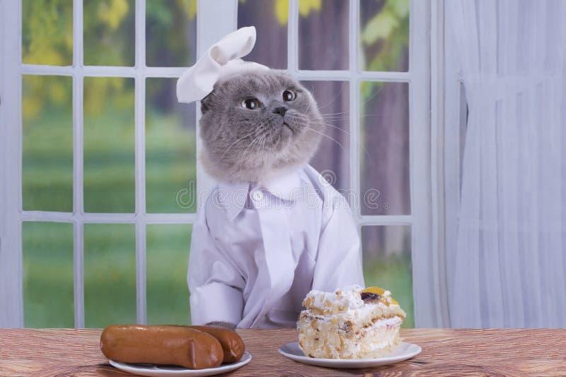 Scottish falten die Katze, die als Koch in der Küche gekleidet wird lizenzfreies stockfoto