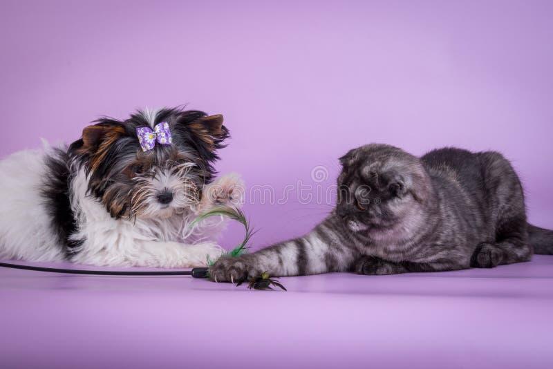 Scottish falten sich und kleiner Hundkleine nette 4 monts Kätzchenschwarzrauchfarbe stockfoto